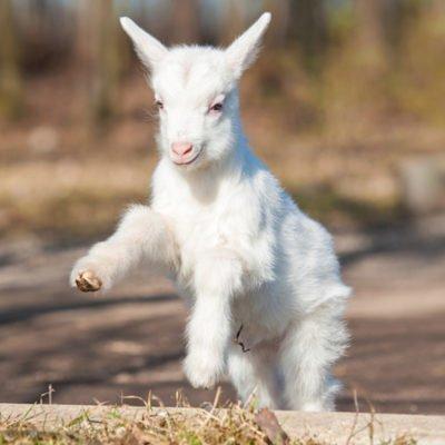 Una giovane capra