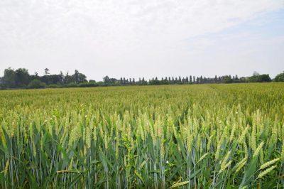 I campi dove coltiviamo il grano